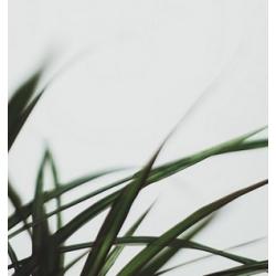 Palmarozų eterinis aliejus, 10ml